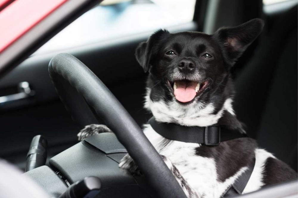 Cách khử mùi hôi của thú cưng trên xe ô tô 10.