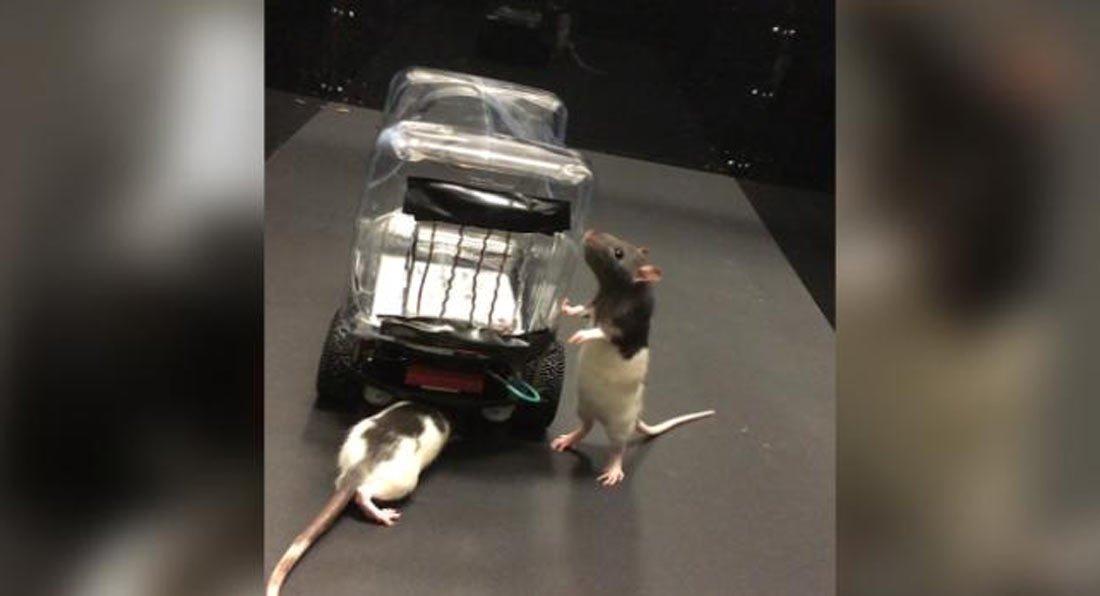 Phát hiện mới: Chuột cũng có thể lái xe,