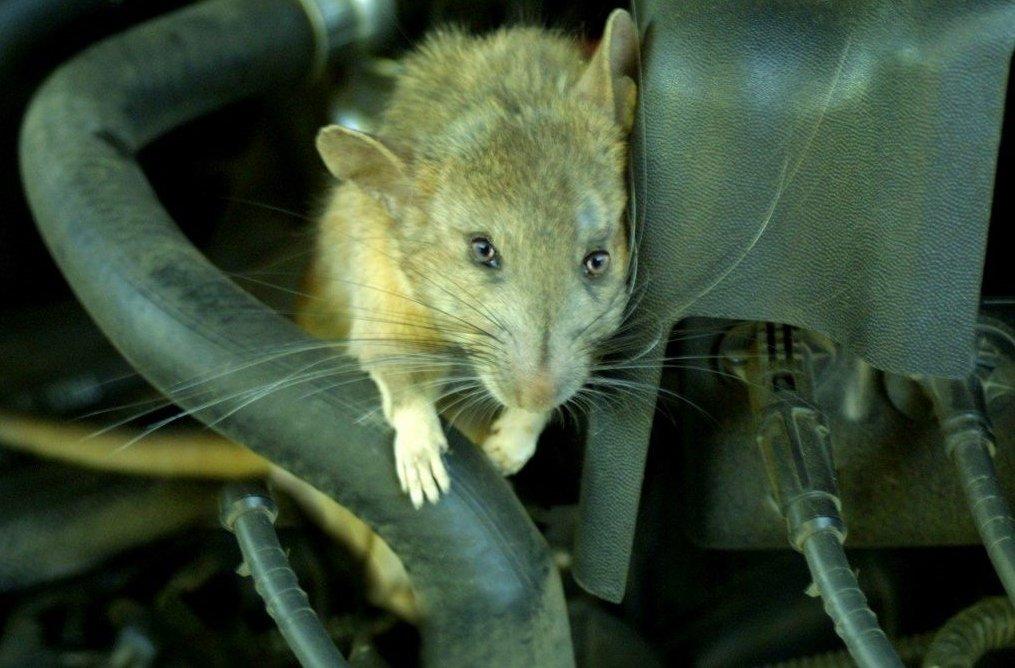 Kinh nghiệm chống chuột trên xe ô tô cực kỳ hiệu quả
