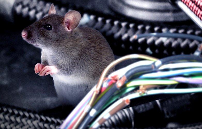 Chuột thường xuất hiện nhiều vào mùa mưa, ẩm ướt và mùa xuân.