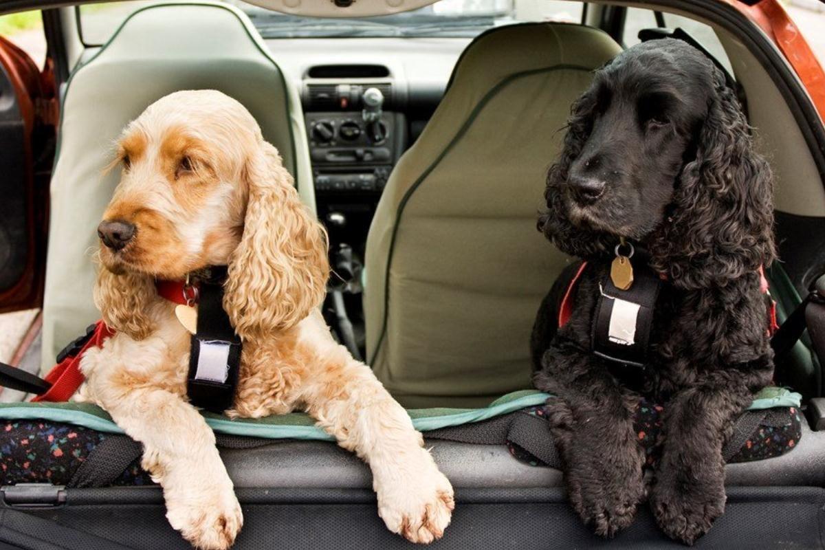 chó ngồi ở sau xe