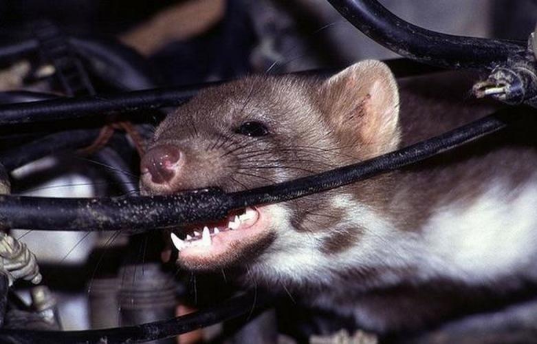 khoang máy ô tô làvị trí lý tưởng để chuột làm tổ 3
