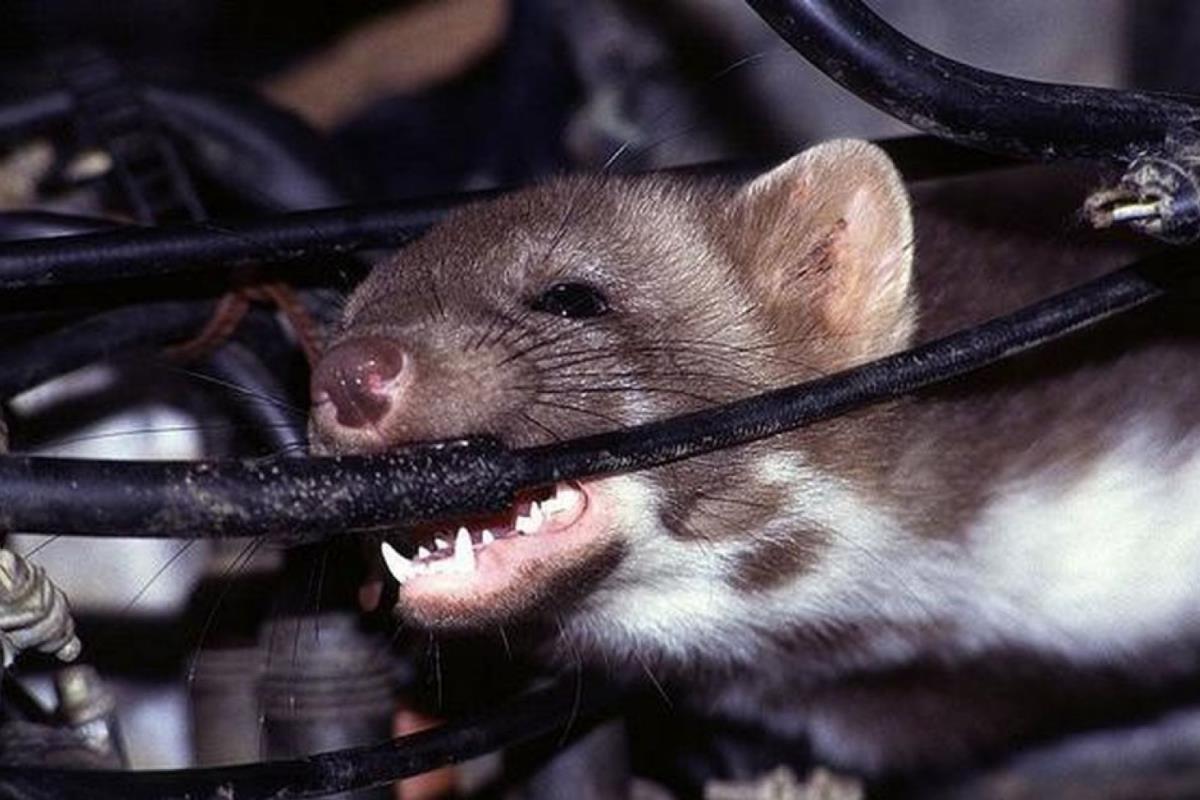 chuột trên xe ô tô