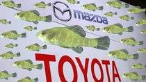 """Loài cá bản địa """"đe dọa"""" lên nhà máy tỷ đô của liên doanh Mazda - Toyota"""