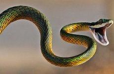 ''Ác mộng'' rắn chui vào xe ô tô tránh nóng ngày hè