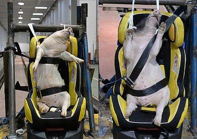 Lợn bị sử dụng trong thử nghiệm tai nạn xe hơi