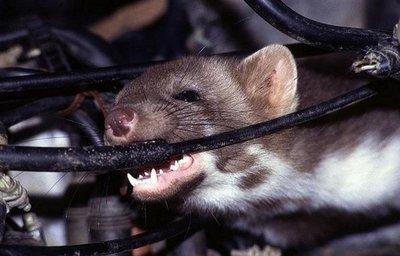 Chuột cắn đứt dây điện trên xe ô tô.